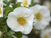 Rose Namba rose Stock photo [1418137] Naniwaibara