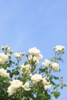 Blue sky and white roses Stock photo [1418827] White