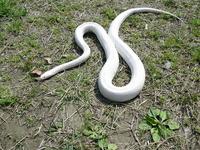 White Snake Stock photo [1419397] Nara