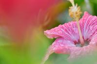 Okinawa image Hibiscus Painted Lady Stock photo [1419834] Hibiscus