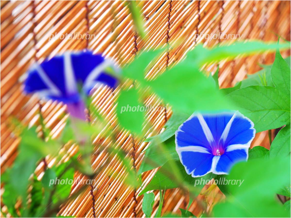 Blue morning glory Photo