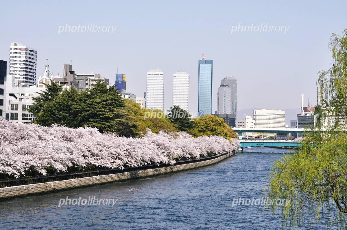 Tenmabashi-Okawa cherry Photo