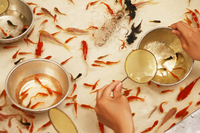 Goldfish scooping Stock photo [1507159] A