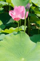 Lotus Flower Stock photo [1508019] Lotus