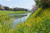Full bloom of rape and cherry Chidorigafuchi park Stock photo [1509658] Landscape