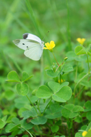 Cabbage butterfly suck nectar of oxalis Stock photo [1509756] White