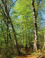 Beech forest Kinasa Stock photo [1510993] Landscape
