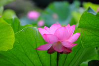 Lotus Flower Stock photo [1511390] Lotus