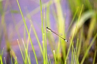 Blue Mont damselflies Stock photo [1514641] Dragonfly