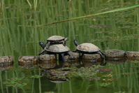 Reeve's turtle Stock photo [1516108] Turtle