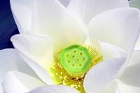 White lotus flower Stock photo [1518284] Lotus