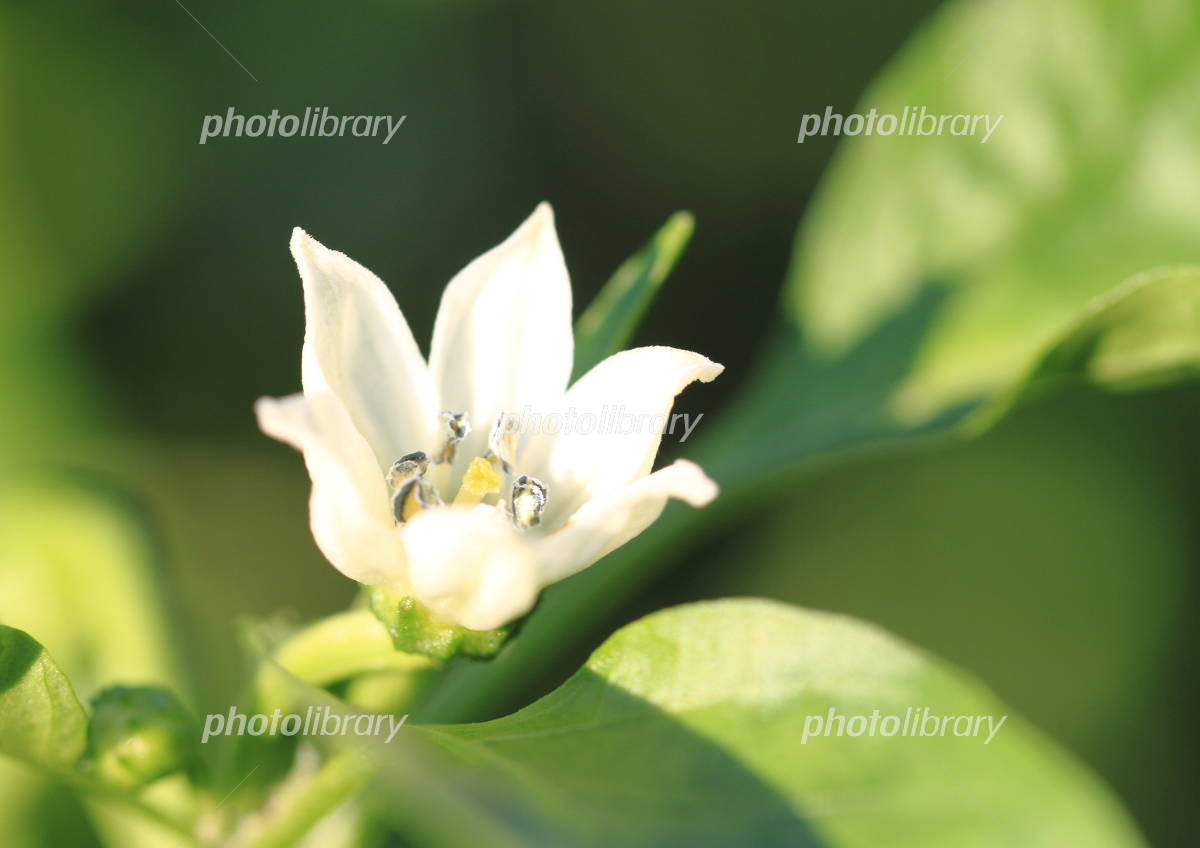 畑のパプリカの花