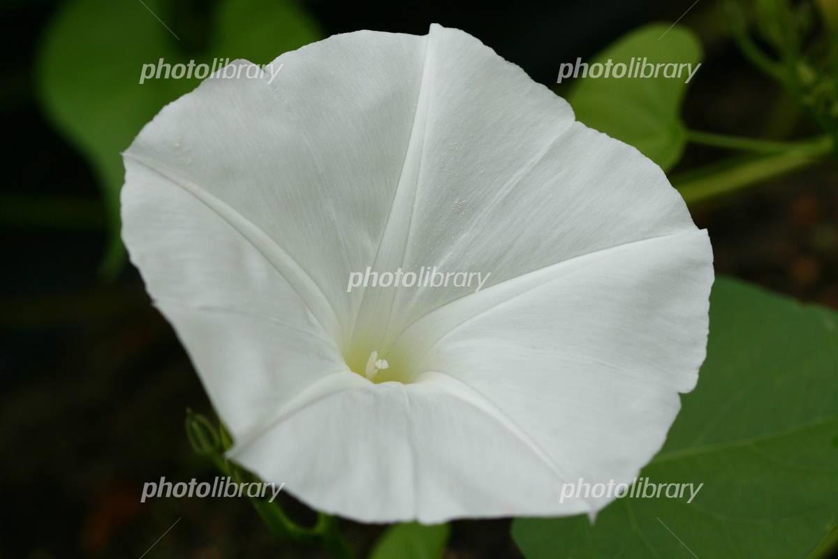 White morning glory Photo