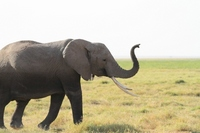 Amboseli African elephants Kenya pointed nose Stock photo [1611388] Elephant
