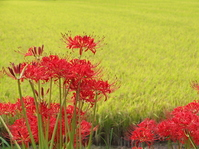 Amaryllis and rice golden Stock photo [1612861] Amaryllis