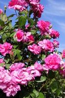 Rose-Sarabande to shine in blue sky Stock photo [1613068] Chippubetsu
