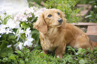Miniature Dachshund Stock photo [1613910] Dog