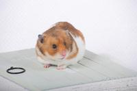 Hamster Stock photo [1614076] Animal