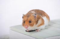 Hamster Stock photo [1614078] Animal