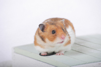 Hamster Stock photo [1614082] Animal