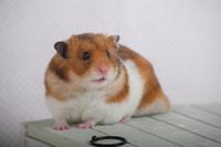 Hamster Stock photo [1614086] Animal