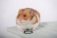 Hamster Stock photo [1614089] Animal