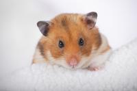 Hamster Stock photo [1614092] Animal