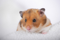 Hamster Stock photo [1614097] Animal