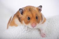 Hamster Stock photo [1614100] Animal