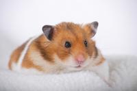 Hamster Stock photo [1614102] Animal