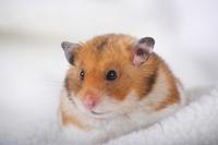Hamster Stock photo [1614105] Animal