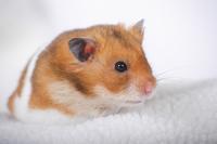 Hamster Stock photo [1614109] Animal