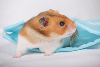 Hamster Stock photo [1614119] Animal