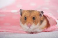 Hamster Stock photo [1614126] Animal