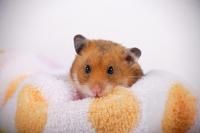 Hamster Stock photo [1614136] Animal