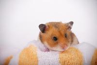 Hamster Stock photo [1614141] Animal