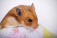 Hamster Stock photo [1614146] Animal