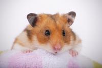 Hamster Stock photo [1614149] Animal