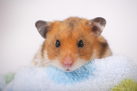Hamster Stock photo [1614151] Animal