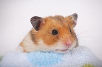 Hamster Stock photo [1614155] Animal