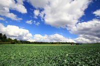 Cabbage fields and sky and clouds Stock photo [1614670] Cabbage