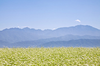 Buckwheat flowers and the Southern Alps Stock photo [1615281] Buckwheat