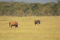 Lake Nakuru of Irando herd Kenya Stock photo [1617776] Irando