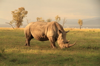 In Lake Nakuru of endangered species wild white rhino in Kenya Stock photo [1617784] White
