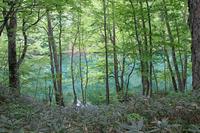 Beech forest around Tsutanuma Stock photo [1617855] Tsutanuma