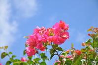 Hibiscus Stock photo [1619248] Okinawa