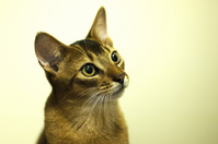 Abyssinian cat Stock photo [1620244] CAT