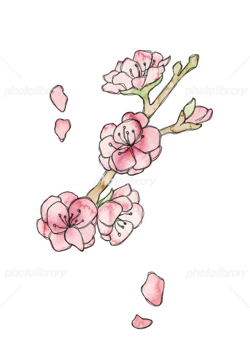 桃の花 線描 イラスト素材 フォトライブラリー Photolibrary