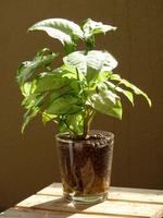 Foliage plants Stock photo [1717764] Dieffenbachia