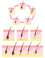 Hair cycle hair cycle [1722566] Hair